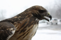 Calli, one of our resident Red-Tailed Hawks will be one of the birds featured during this Sunday's program.