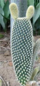 bunny ear cactus reized