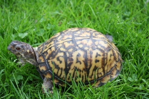 "Pictured here is our female(note the 'brown' eyes) Eastern box turtle ""Speedy."""