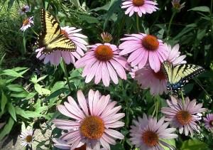 2 swallowtail