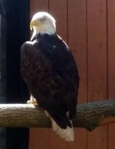 Thor, Bald Eagle