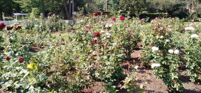 roses-sept-16-2