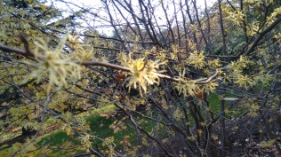 witch-hazel-up-close