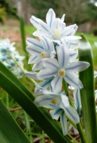 striped squill 2