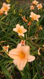 daylily peach